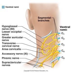 cervical_plexus1342596044233